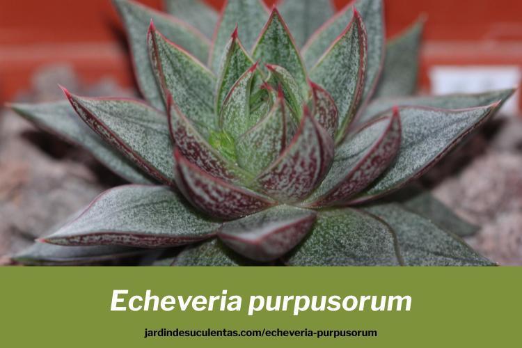 echeveria purpusorum consejos cultivo y propagación